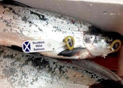 Wild salmon msc label