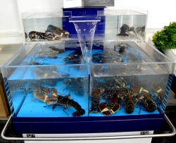 Live Lobsters in specialist tank