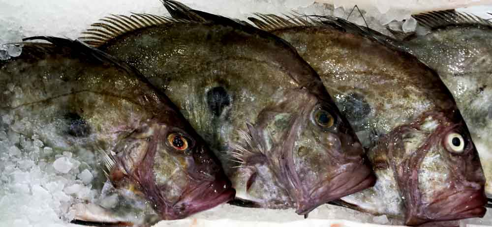 John dory walter purkis and sons for Picture of dory fish
