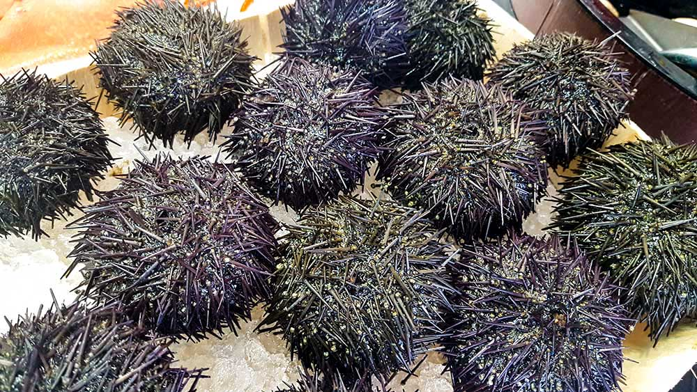 sea urchin cooking and eating tips walter purkis and sons